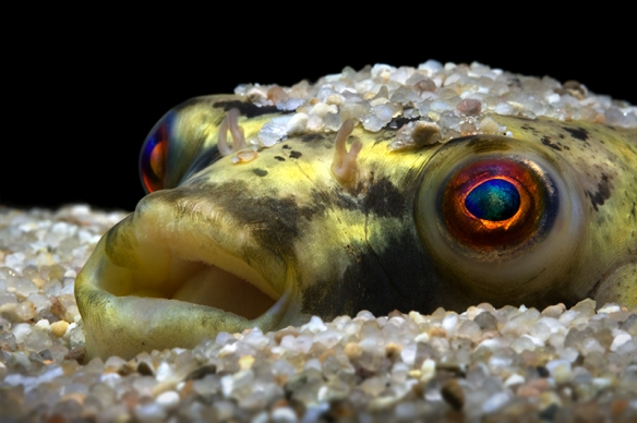 Nilkugelfisch Tetraodon lineatus